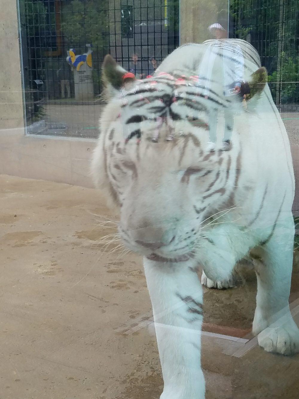 石川動物園ホワイトタイガー